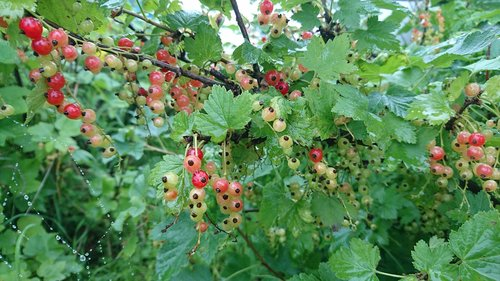 currant  red currant  food