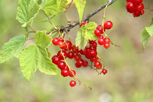 currant  berry  nature