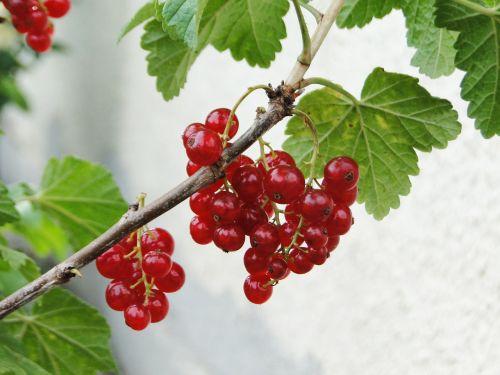 currant fruit garden currant