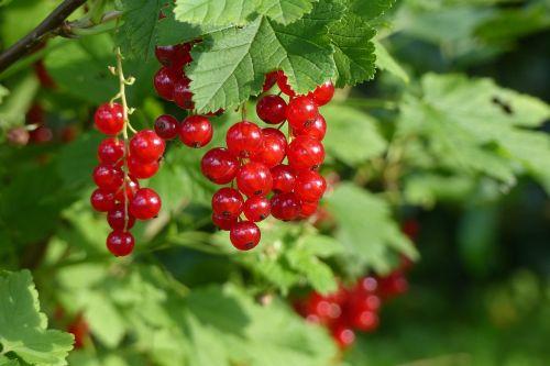 serbentų,minkšti vaisiai,sodas,vasaros vaisiai,augalas,raudona,rūgštus,vaisiai,krūmas,agrastų šiltnamiai,truebeli