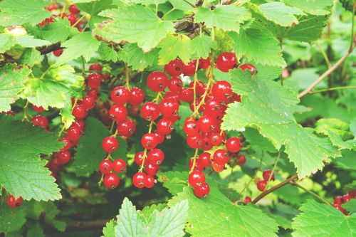 currant berry red currant