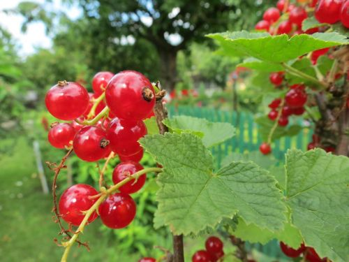 currant fruit red