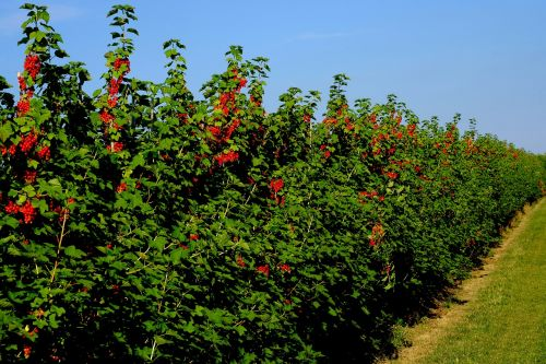 currant hedge field currants