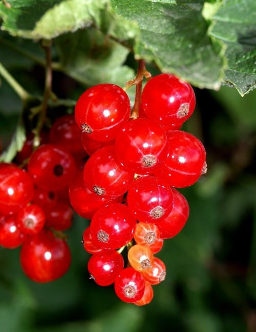 currants red soft fruit