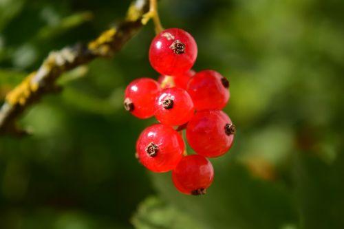currants grape fruit