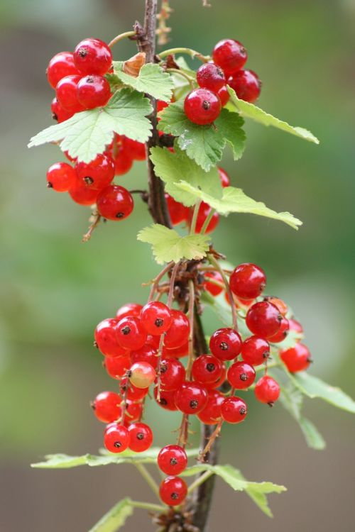 currants plant red currant