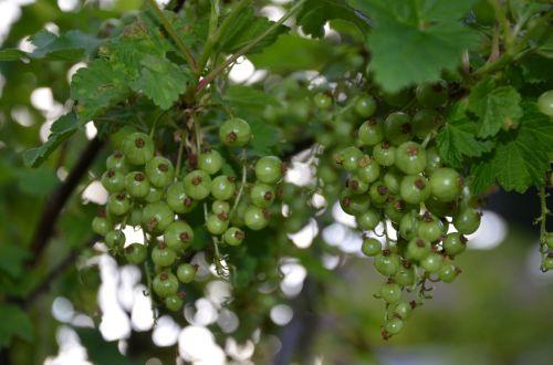 currants green bush