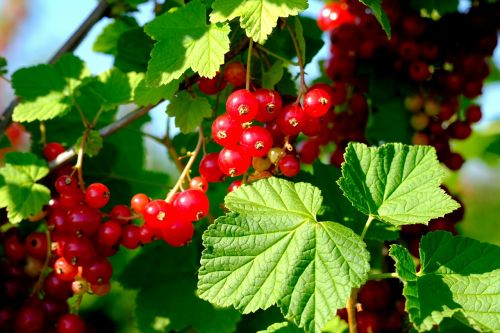 currants berries red currant