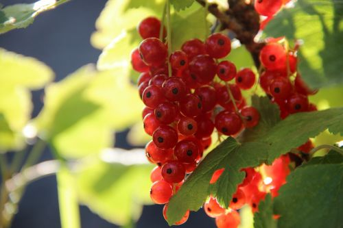 currants berry red