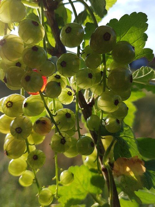 currants  fruits  green