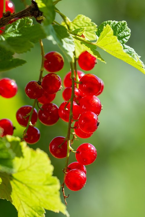currants  red  red currants