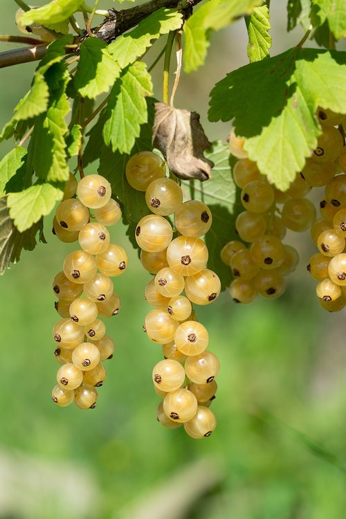 currants  currant  white