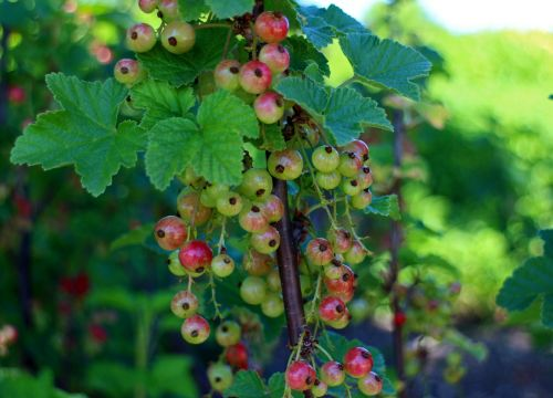 currants ribes gooseberry greenhouse