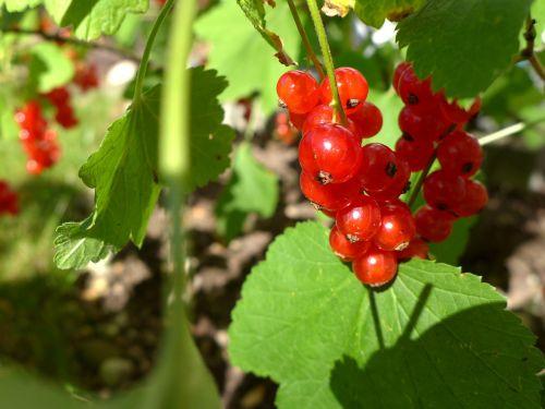 currants berries harvest time