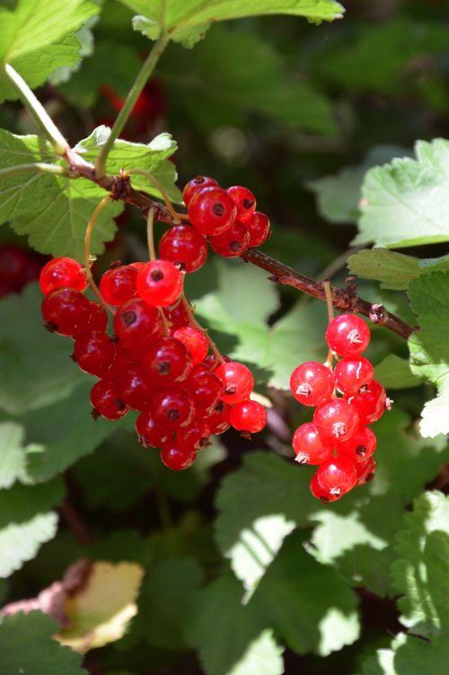 currants red garden