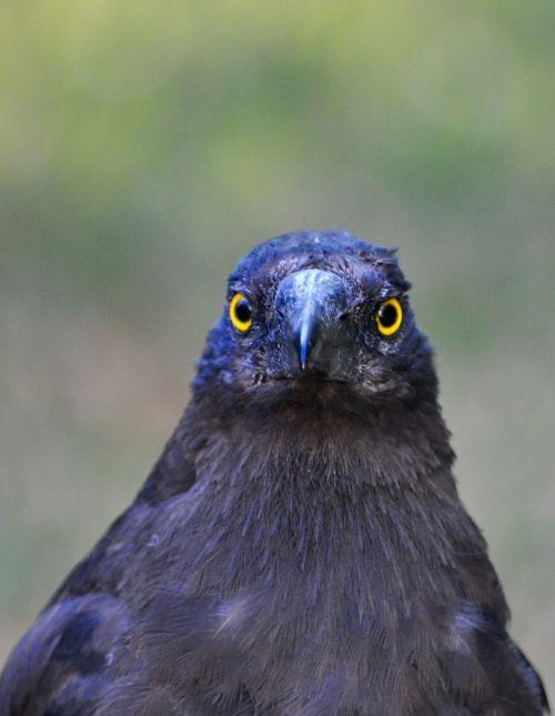 currawong bird australia