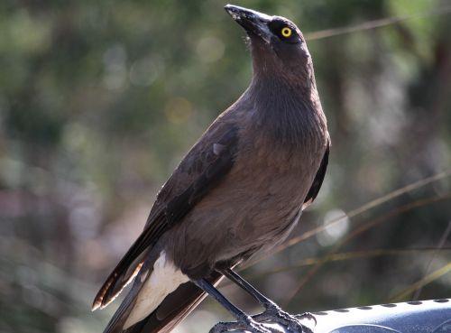 currawong grey currawong australian bird