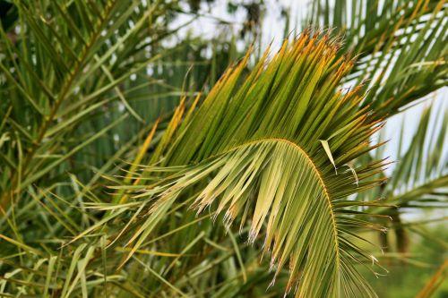 Curved Palm Leaf