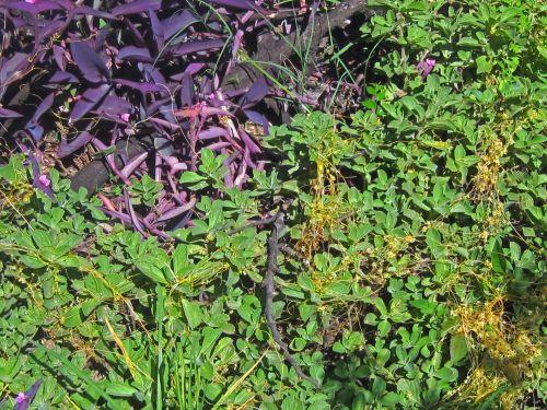 Cuscuta Parasite Plant