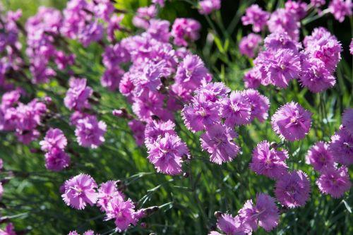 cushion flower pink flowers heather-clove
