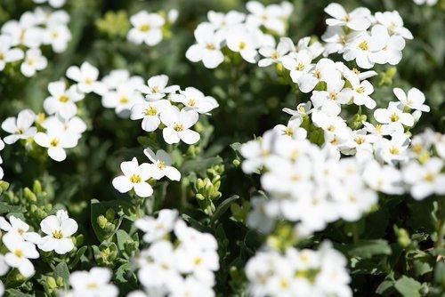 cushion flowers  white  white cushion flower