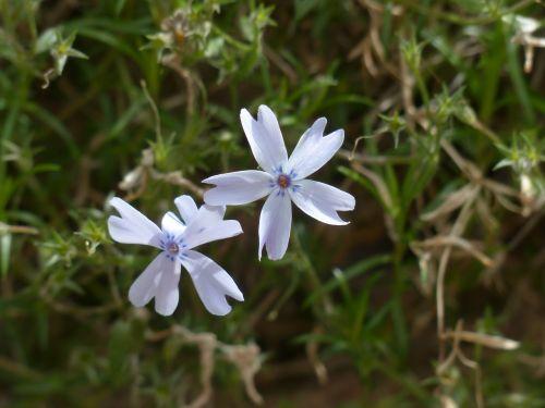 cushion phlox blossom bloom