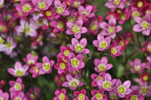 cushion saxifrage cushion flower stone garden