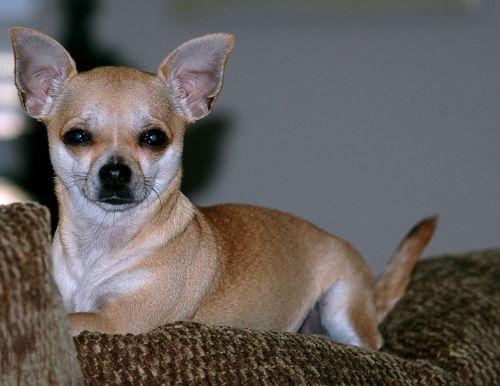 mielas, chihuahua, šuniukas, šuo, gyvūnas, prijaukintas, veislė, mažas, žaislas, protingas, tan, blondinė, kailis, ausys, mielas, mielas chihuahua šuniukas