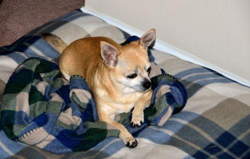 Cute Chihuahua Puppy