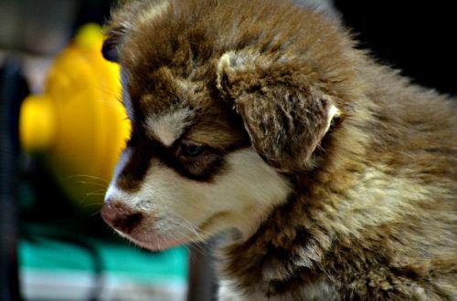 gyvūnai, šuo, šunys, Husky, naminis gyvūnėlis, veislė, kailis, pūkuotas, šuniukas, šuniukas, mielas šuniukas