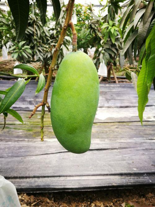 cyan mango fruit