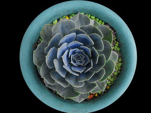 cyan cactus desert plant
