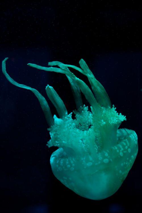 Cyan Jellyfish