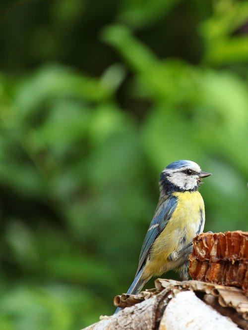 cyanistes caeruleus  blue tit  tit