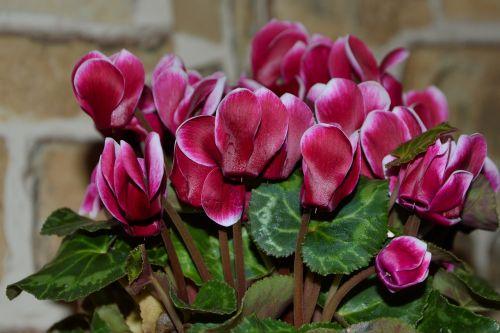 cyclame cyclamen ornamental plant