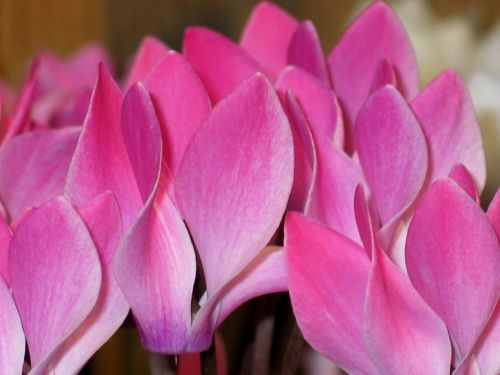 cyclamen pink white