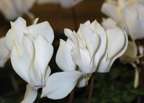 cyclamen white flowers flora