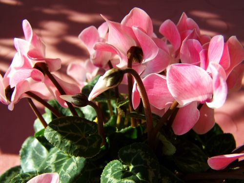 cyclamen pink potted plant