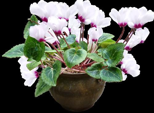cyclamen white pot