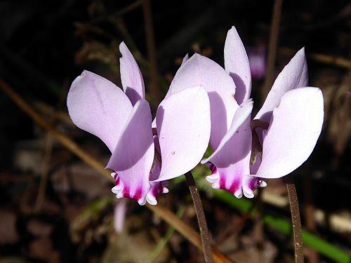 cyclamen flower pink
