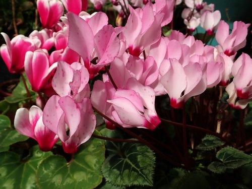 cyclamen  flowers  garden