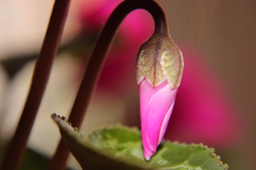 cyclamen  bud  pink