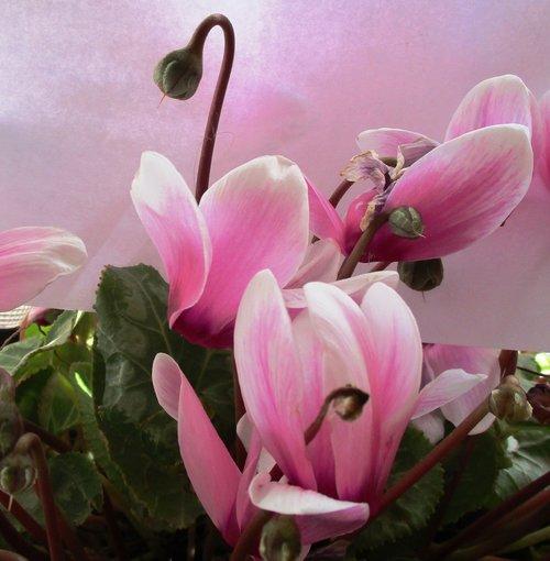 cyclamen  rosa  flowers