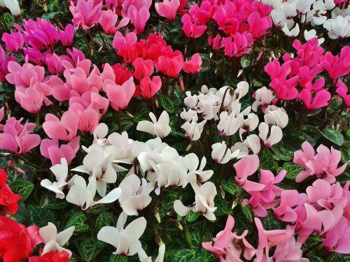 ciklamenas,violetinė,gėlės,flora,botanika,rožinis,balta,spalvinga,gamta,augalas,pasodintas augalas,kambarinis augalas,dekoratyvinis