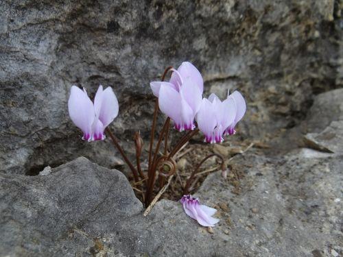 cyclamen plant flowers