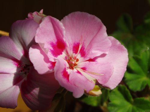 cyclamen flowers pink