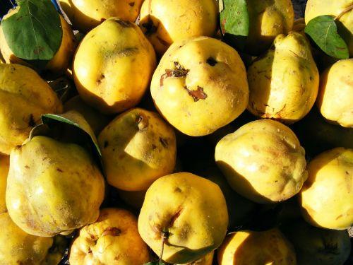 cydonia fruit oblonga