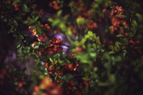 cydonia oblonga quince flowers