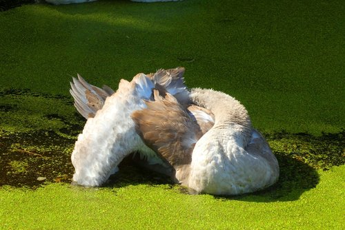 cygnet  ditch  down feathers