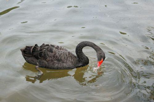 cygnus pond black